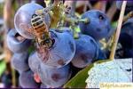 Feeding bees treacle