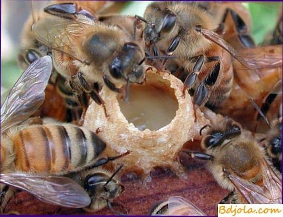 Кормление пчелами друг друга