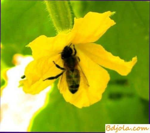 Огуречный мед