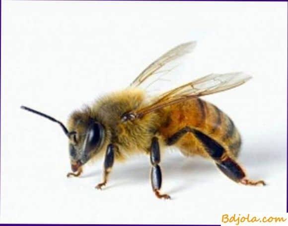Пчелиный яд при гипертонии