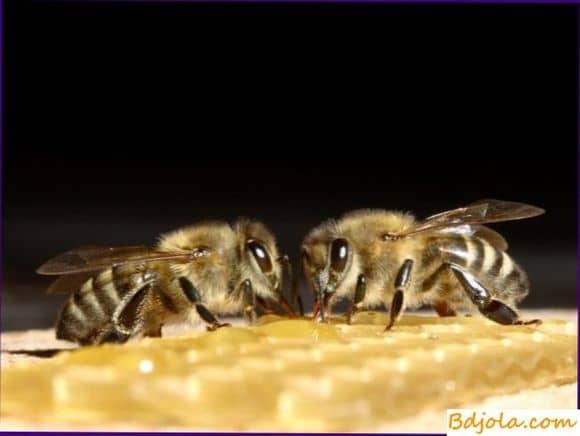 Как лечить аспергиллез пчел или каменный расплод