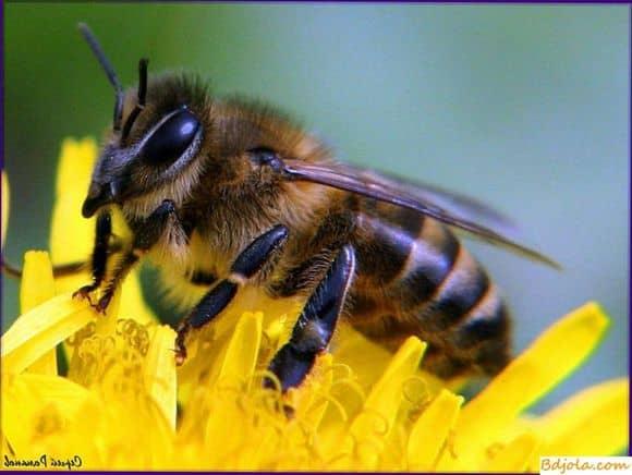 Изготовление пчелами воска